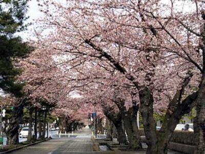 十和田官庁街の桜が咲きました!